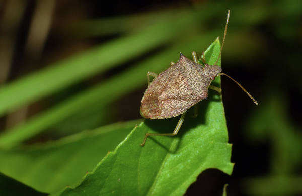 Photograph - Shield Bug by Larah McElroy