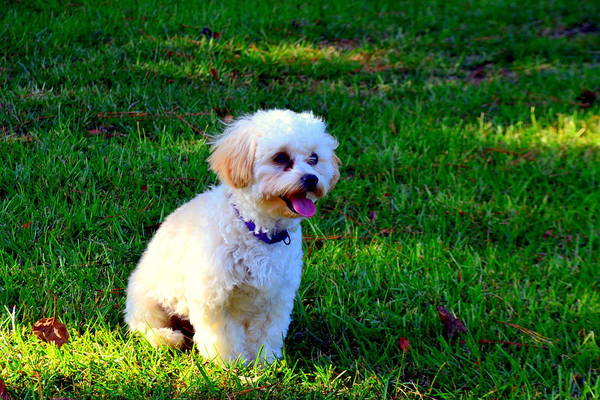 Photograph - Shih-poo by Lisa Wooten