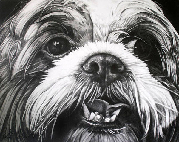 Shih Tzu- Tommy Art Print