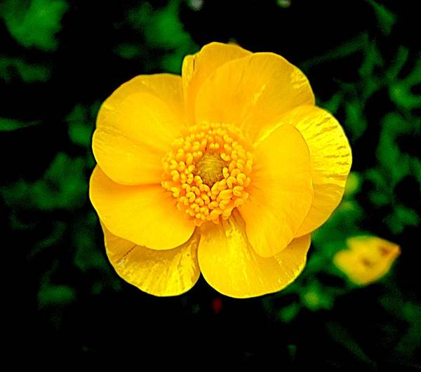 Photograph - Shiny Yellow Flower  by Beth Akerman