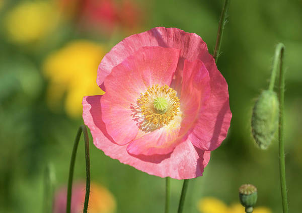 Wall Art - Photograph - Shirley Poppy 2017-3 by Thomas Young