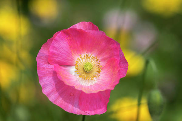 Wall Art - Photograph - Shirley Poppy 2017-4 by Thomas Young