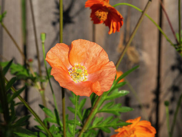 Wall Art - Photograph - Shirley Poppy 2018-12 by Thomas Young