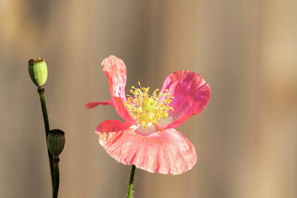 Wall Art - Photograph - Shirley Poppy 2018-14 by Thomas Young
