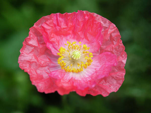 Wall Art - Photograph - Shirley Poppy 2018-16 by Thomas Young