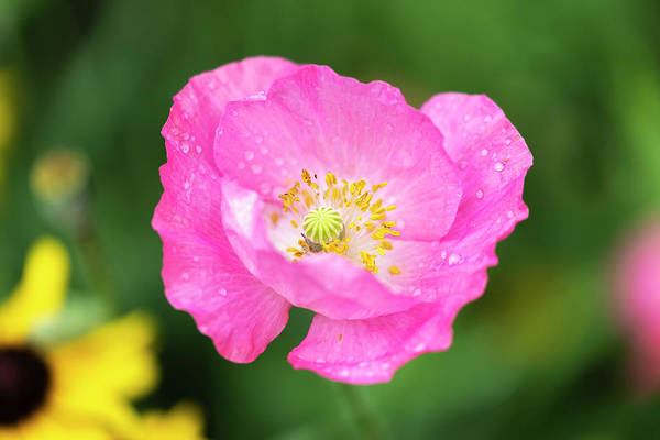 Wall Art - Photograph - Shirley Poppy 2018-7 by Thomas Young