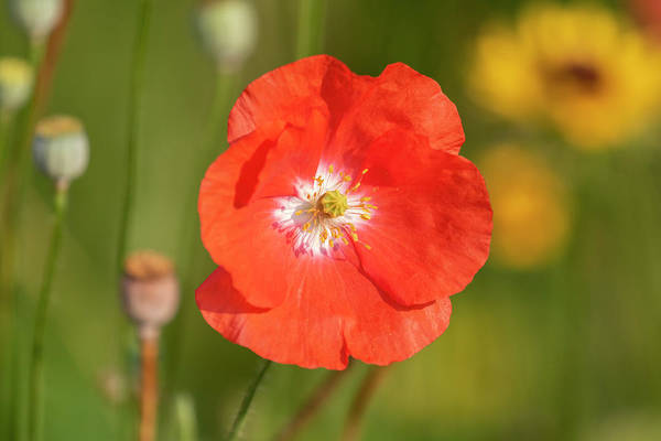 Wall Art - Photograph - Shirley Poppy 2018-9 by Thomas Young