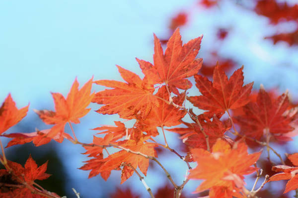 Photograph - Shock Of Autumn Red by Fraida Gutovich