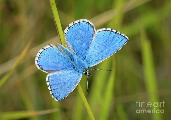 Shocking Blue Butterfly Art Print
