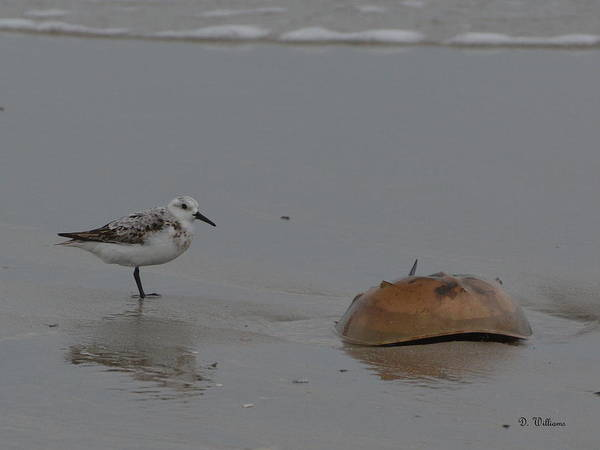 Photograph - Shorebird And A Crab by Dan Williams