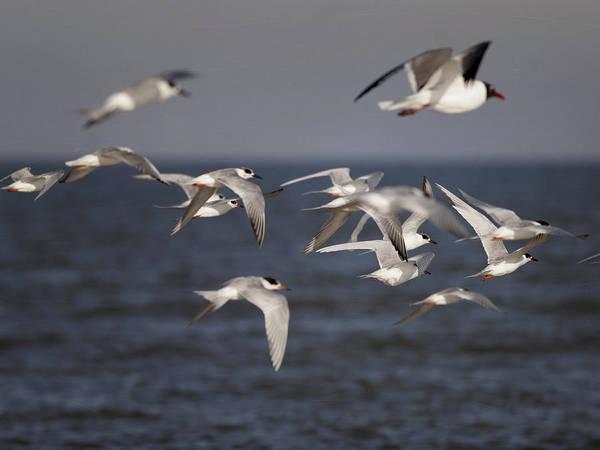 Photograph - Shorebirds by Charles McKelroy