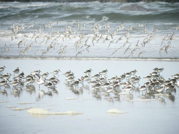 Oregon Coast Wall Art - Photograph - Shorebirds Oregon Coast by Carol Leigh