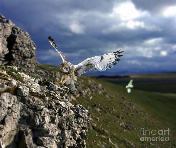 Photograph - Short-eared Owl Alighting On A Rock by Warren Photographic