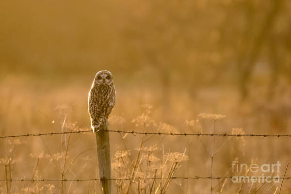 Photograph - Short-eared Owl At Sunset by Paul Farnfield