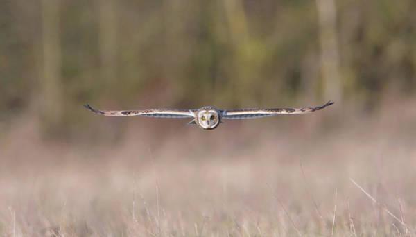 Photograph - Short-eared Owl Flat Wings by Peter Walkden