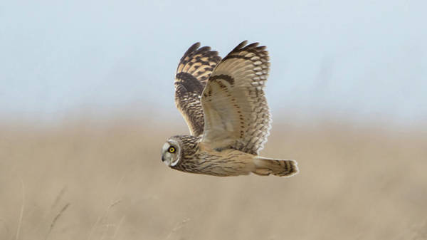 Photograph - Short-eared Owl Hunting by Peter Walkden