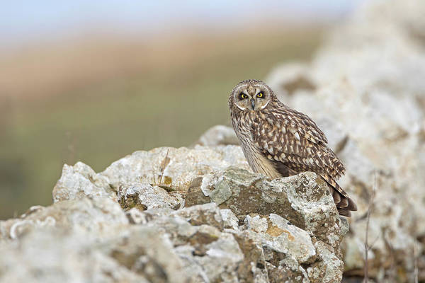 Photograph - Short-eared Owl In Cotswolds by Peter Walkden