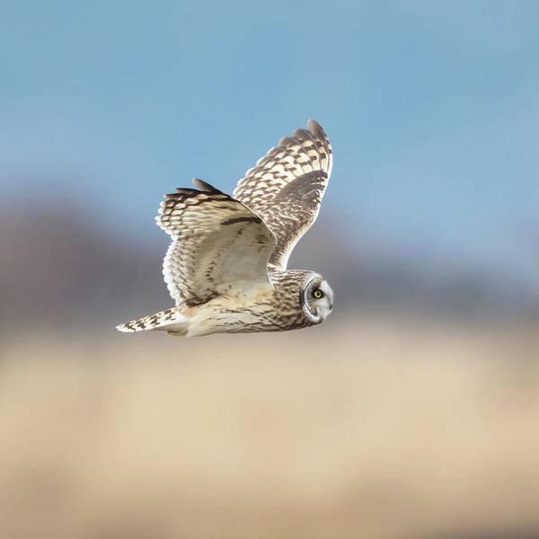 Owl In Flight Photograph - Short-eared Owl In Flight by Angie Vogel