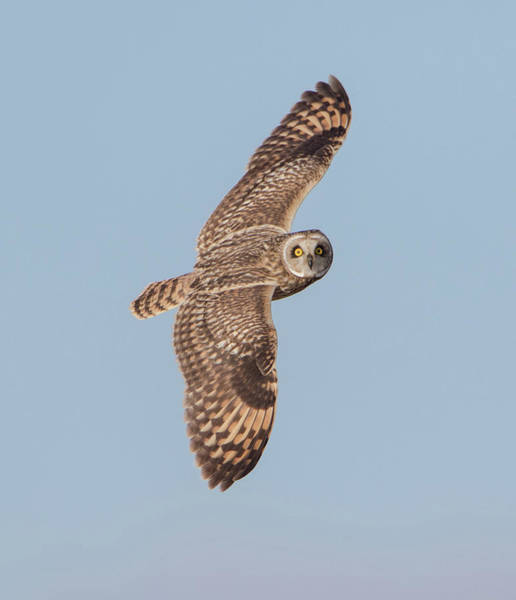 Photograph - Short-eared Owl In Flight by Peter Walkden