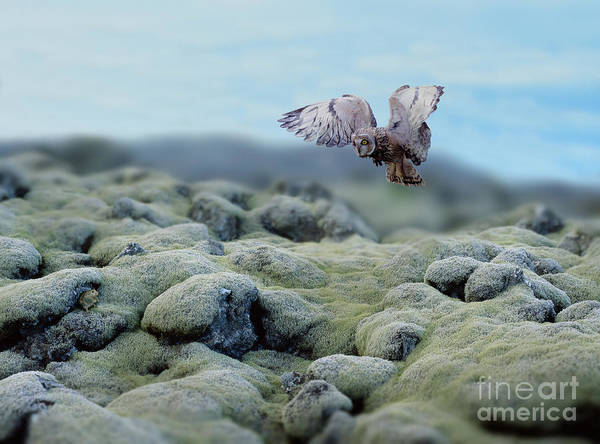 Photograph - Short-eared Owl In Iceland by Warren Photographic