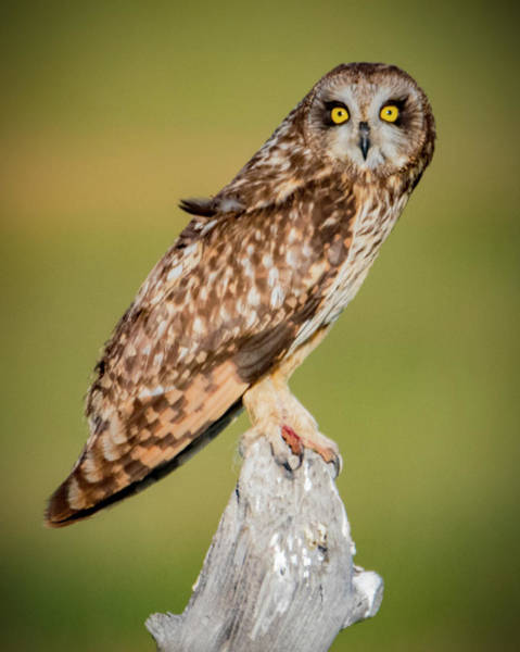 Photograph - Short Eared Owl by Norman Hall