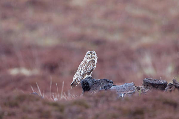 Photograph - Short-eared Owl On Peat by Peter Walkden