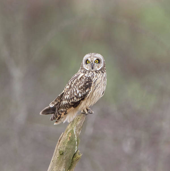 Photograph - Short-eared Owl Perched On Log by Peter Walkden