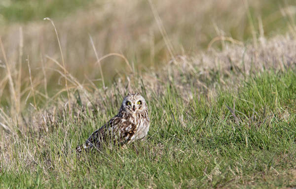 Photograph - Short Eared Owl by Ronnie and Frances Howard