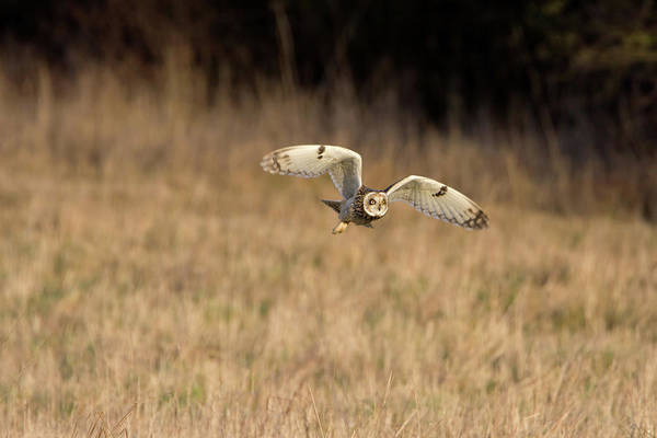 Photograph - Short-eared Owl Takes Off by Peter Walkden