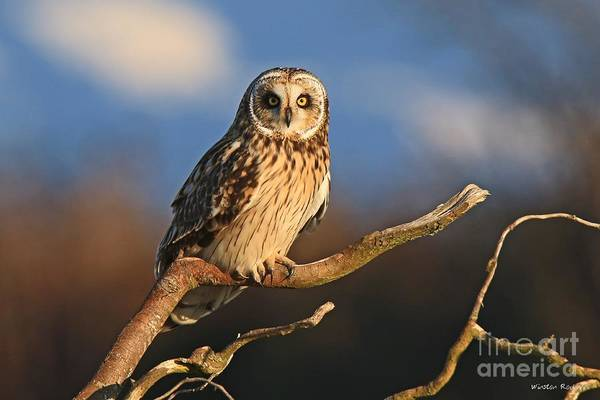 Wall Art - Photograph - Short-eared Owl by Winston Rockwell