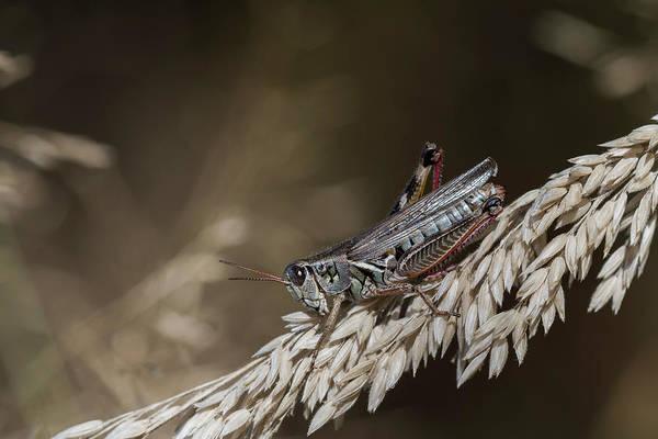 Photograph - Short-horned Grasshopper by Robert Potts