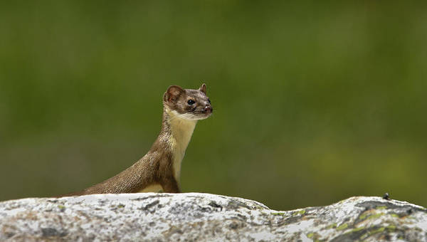 Photograph - Short Tail Weasel by Ronnie and Frances Howard