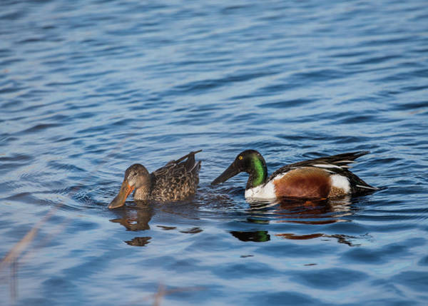 Photograph - Shoveler Pair by Robert Potts