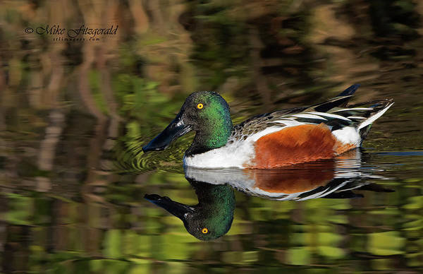Photograph - Shoveler Profile by Mike Fitzgerald