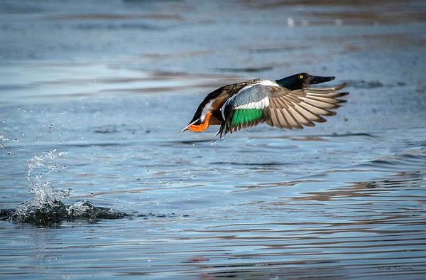 Photograph - Shoveler Take-off With A Splash by Judi Dressler