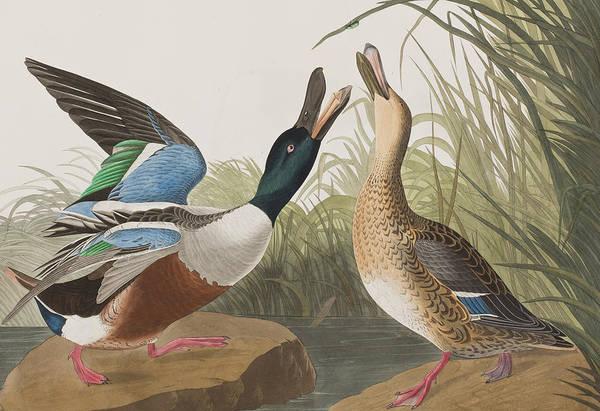 Plate Painting - Shoveller Duck by John James Audubon