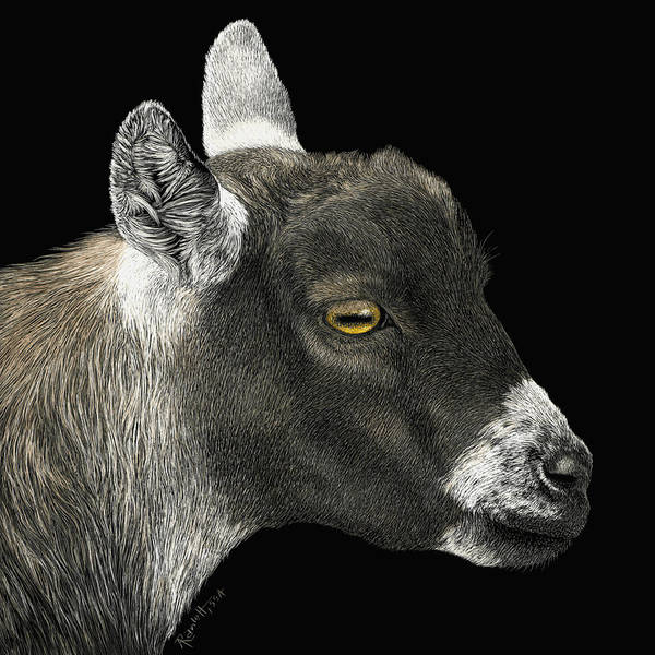 Drawing - Show Goat by Ann Ranlett