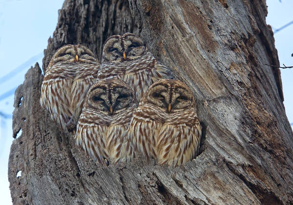 Hoot Wall Art - Photograph - Show Me Your Hooters by Betsy Knapp