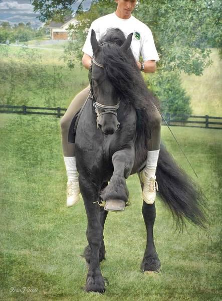 Friesian Horse Photograph - Showing Off by Fran J Scott