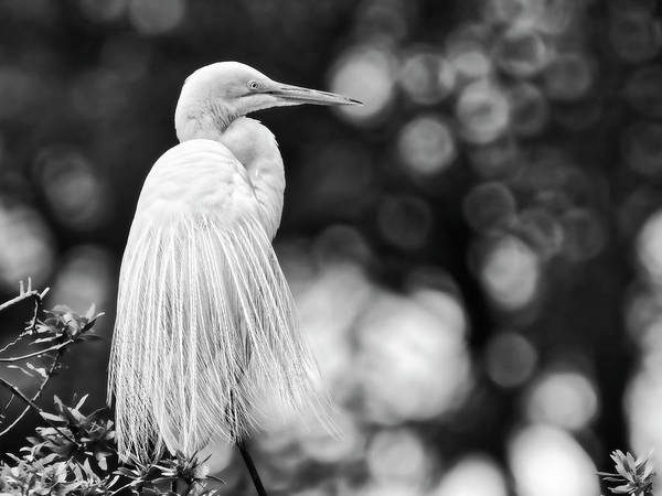 Lowcountry Digital Art - Showing Some Feathers by Phill Doherty