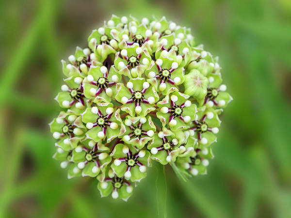 Photograph - Showy Milkweed Of Texas. by Usha Peddamatham