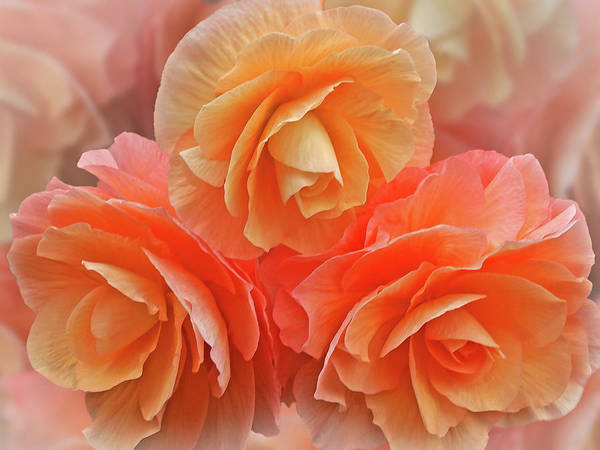 Photograph - Showy Peach Begonias by Gill Billington