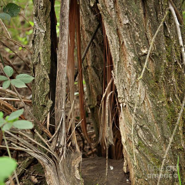 Photograph - Shredded Tree by Carol Lynn Coronios