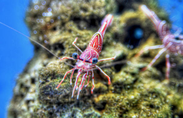 Photograph - Shrimp by Sam Davis Johnson