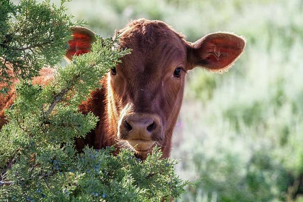 Photograph - Shy Calf by Belinda Greb