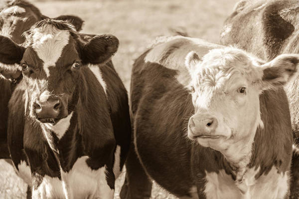 Photograph - Shy Cows by James  Meyer