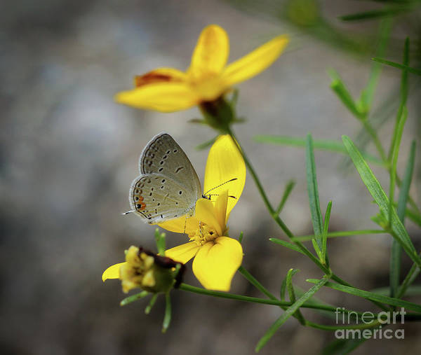 Photograph - Shy Eastern Tailed Blue Butterfly by Karen Adams