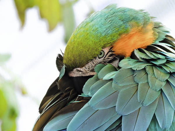 Photograph - Shy Macaw by Penny Lisowski