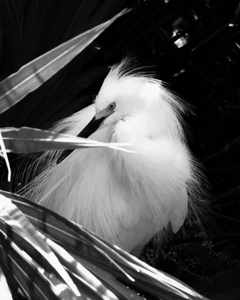 Shy Snowy Egret Art Print