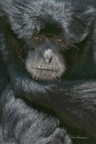 Photograph - Siamang 5119 by Dan Beauvais